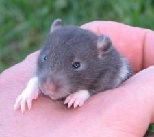 Rat pup