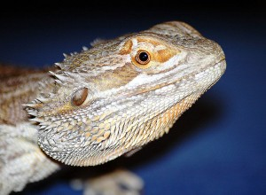 Know Your Bearded Dragon