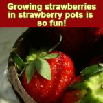 Growing Strawberries in Strawberry Pots