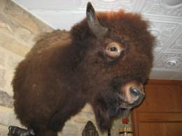 Buffalo Head For A Wild West Saloon